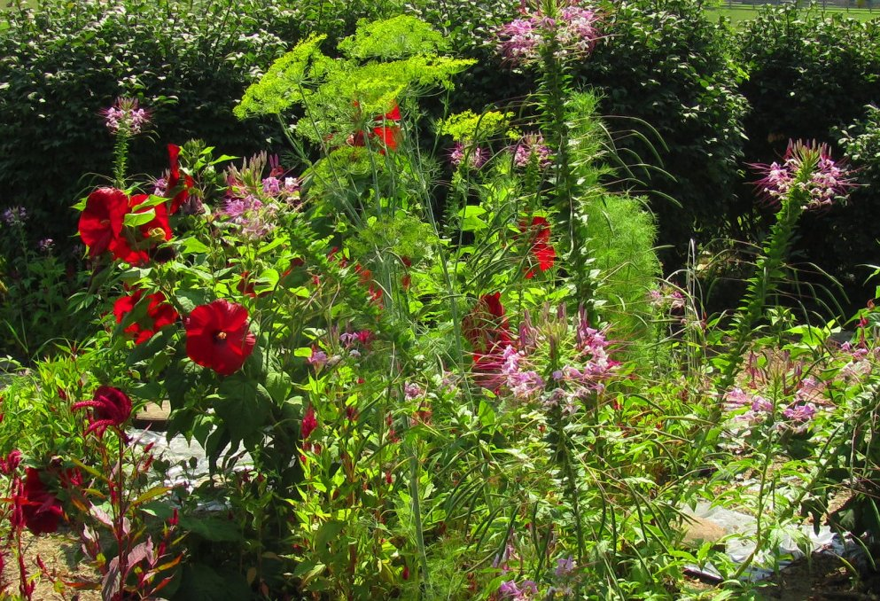 celosia hibiscus dill spiderflower
