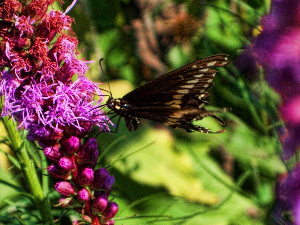 fluttering_butterfly_on_liatris