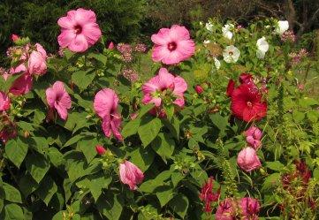 hibiscus and spiderflower