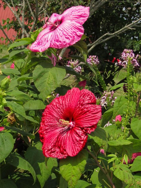 pink and red hibiscus