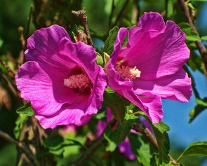 rose of sharon double blossoms