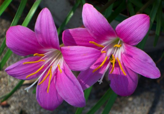 surprise lilies with a visitor