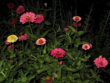 zinnias at night