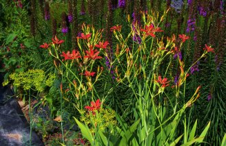 blackberry lily with liatris