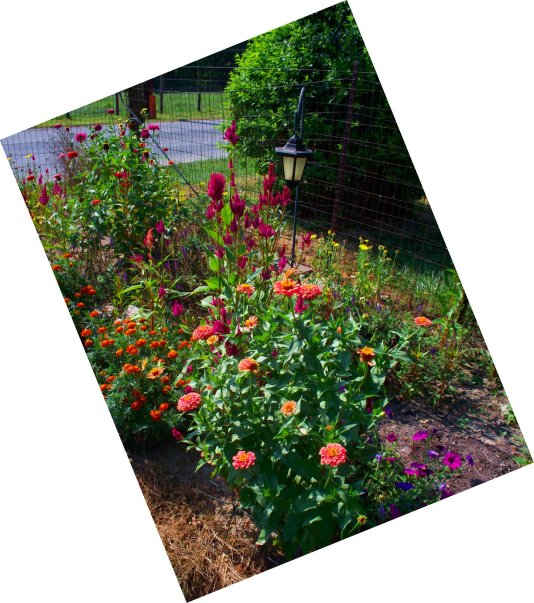 featuring zinnias, celosias and marigolds
