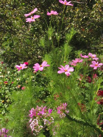 cosmos and spiderflower