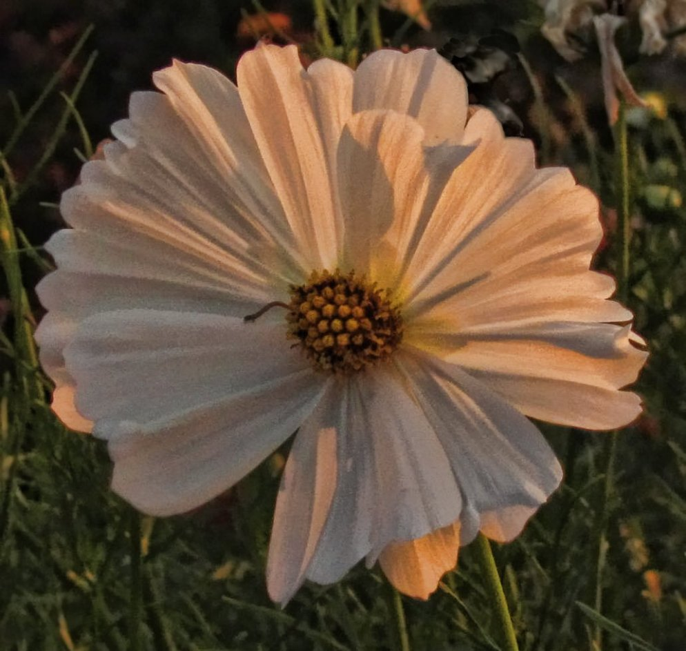 white cosmos blossom in dawn light