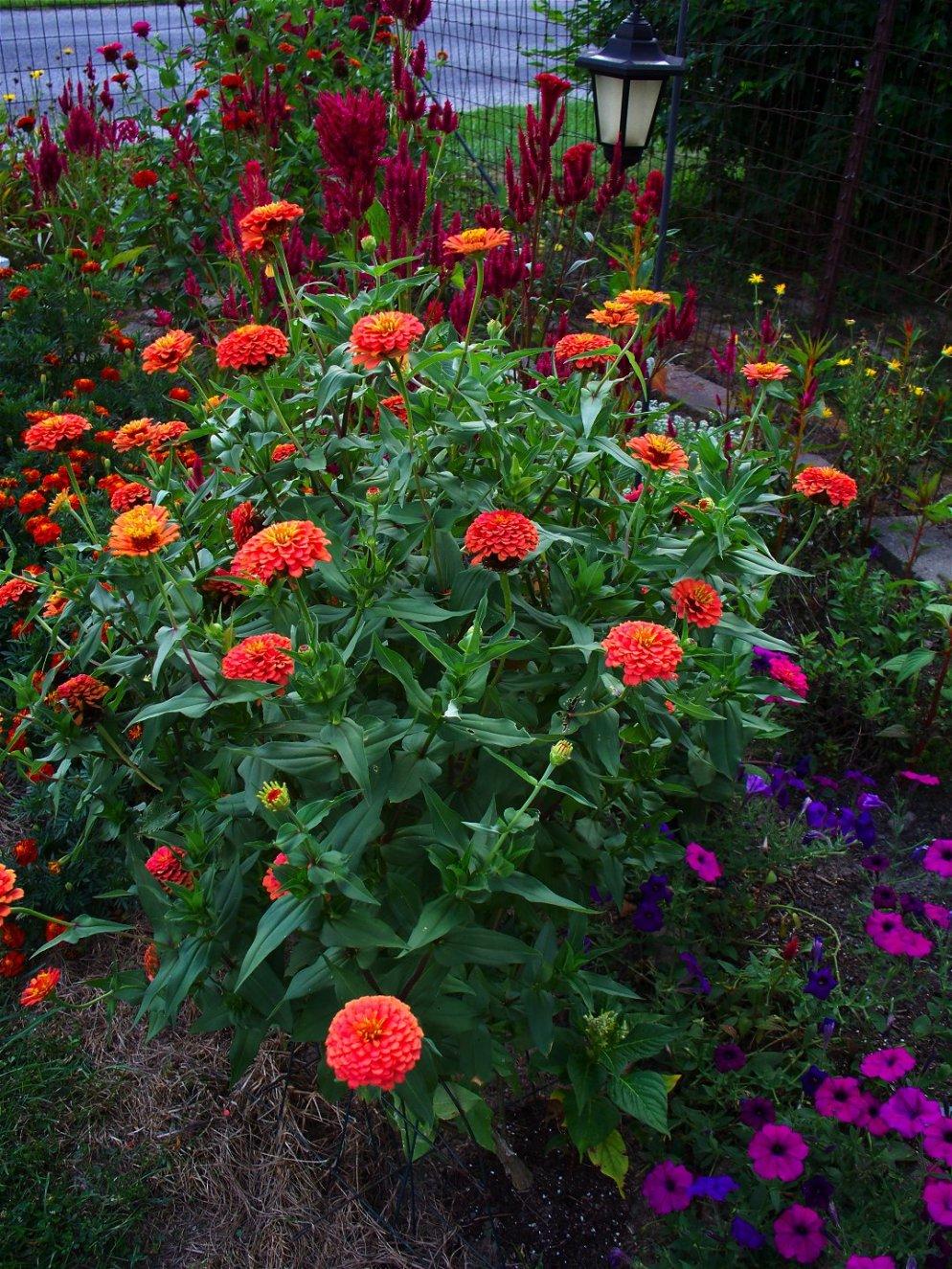 zinnias, marigolds, celosia, petunias