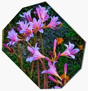 hurricane lilies