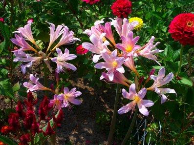 hurricane lilies zinnia celosia