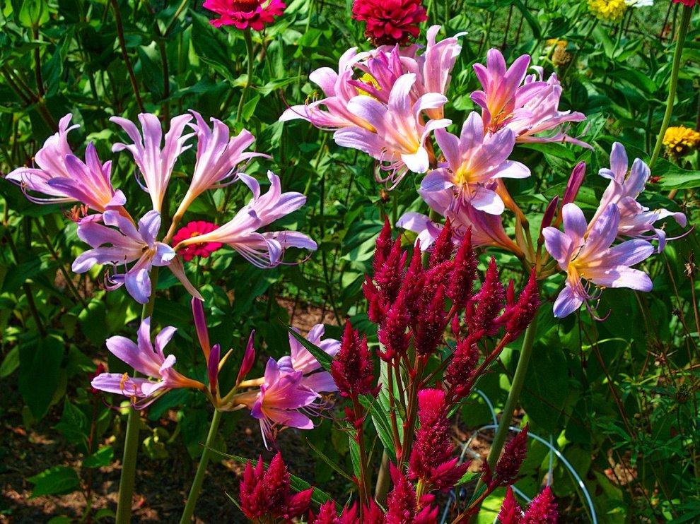 hurricane lilies, zinnias, and celosia