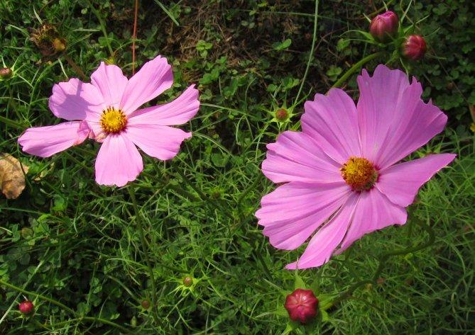 purple cosmos flowers