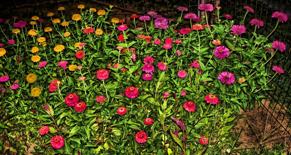 night scene of zinnias