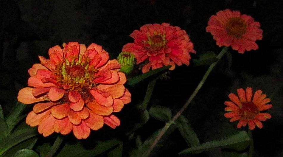 orange zinnias at night