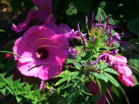 pink hibiscus and spiderflower