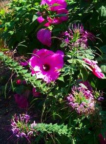 pink hibiscus and spiderflower