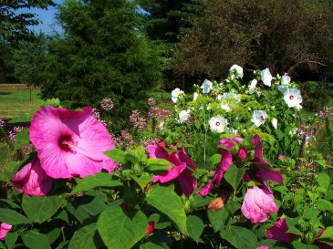 pink and white hibiscus