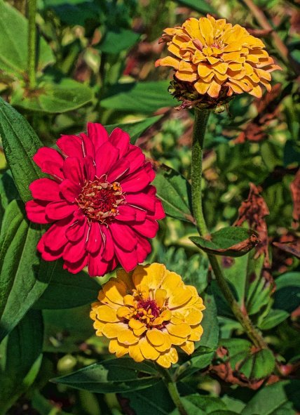 red and yellow zinnias