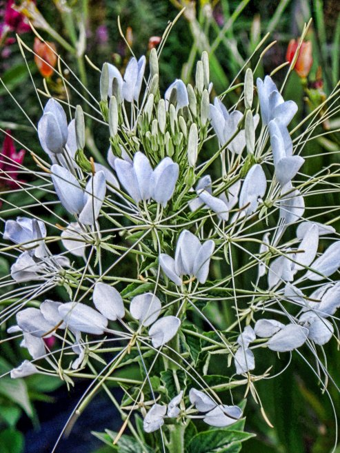 white spiderflower blossom