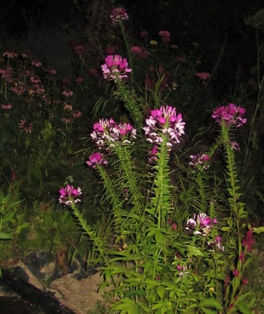 spiderflower and coneflower, evening scene