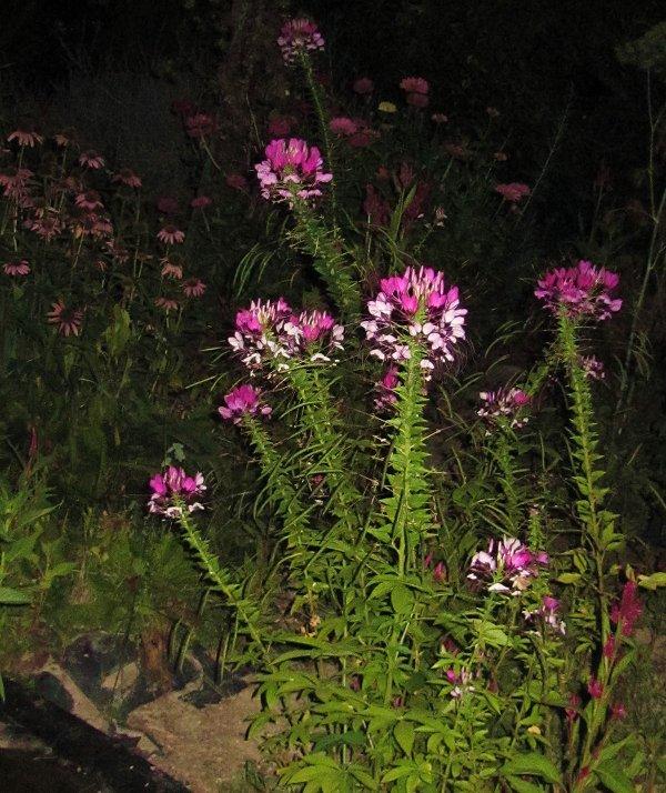 spiderflower and coneflower, evening scene