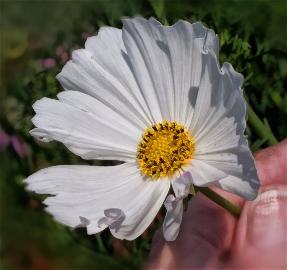 white cosmos closeup