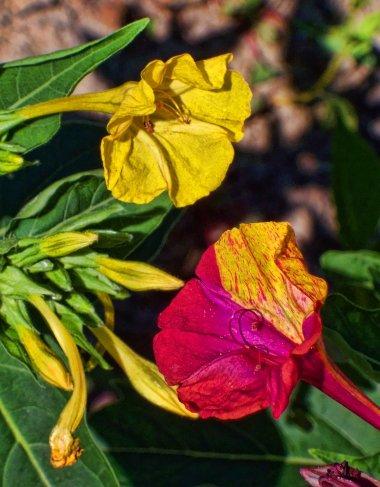 four oclock flowers