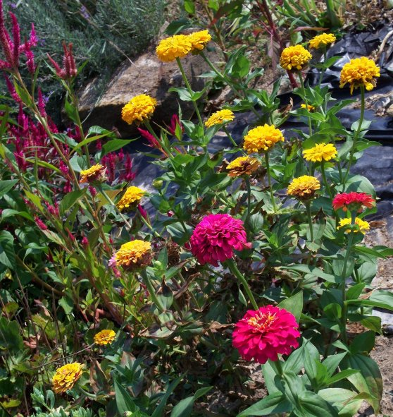 yellow and red zinnias