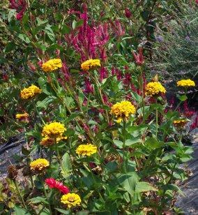 zinnias and celosia