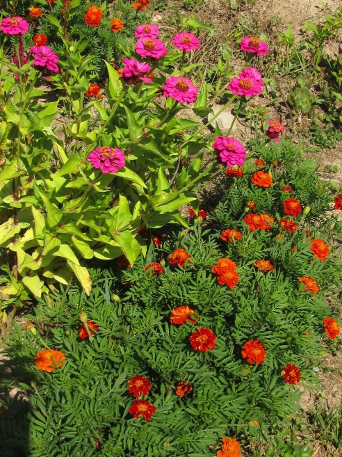 zinnias and marigolds