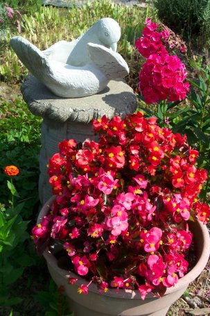 begonias and phlox
