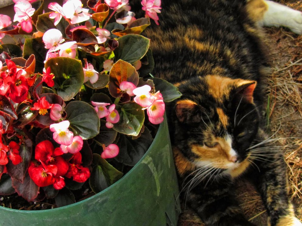 begonias and callie