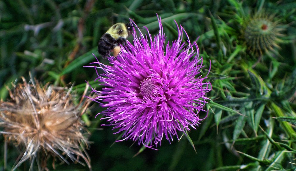 bull thistle with bee