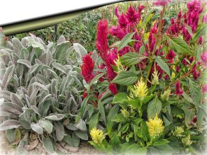 lambs ears and celosias