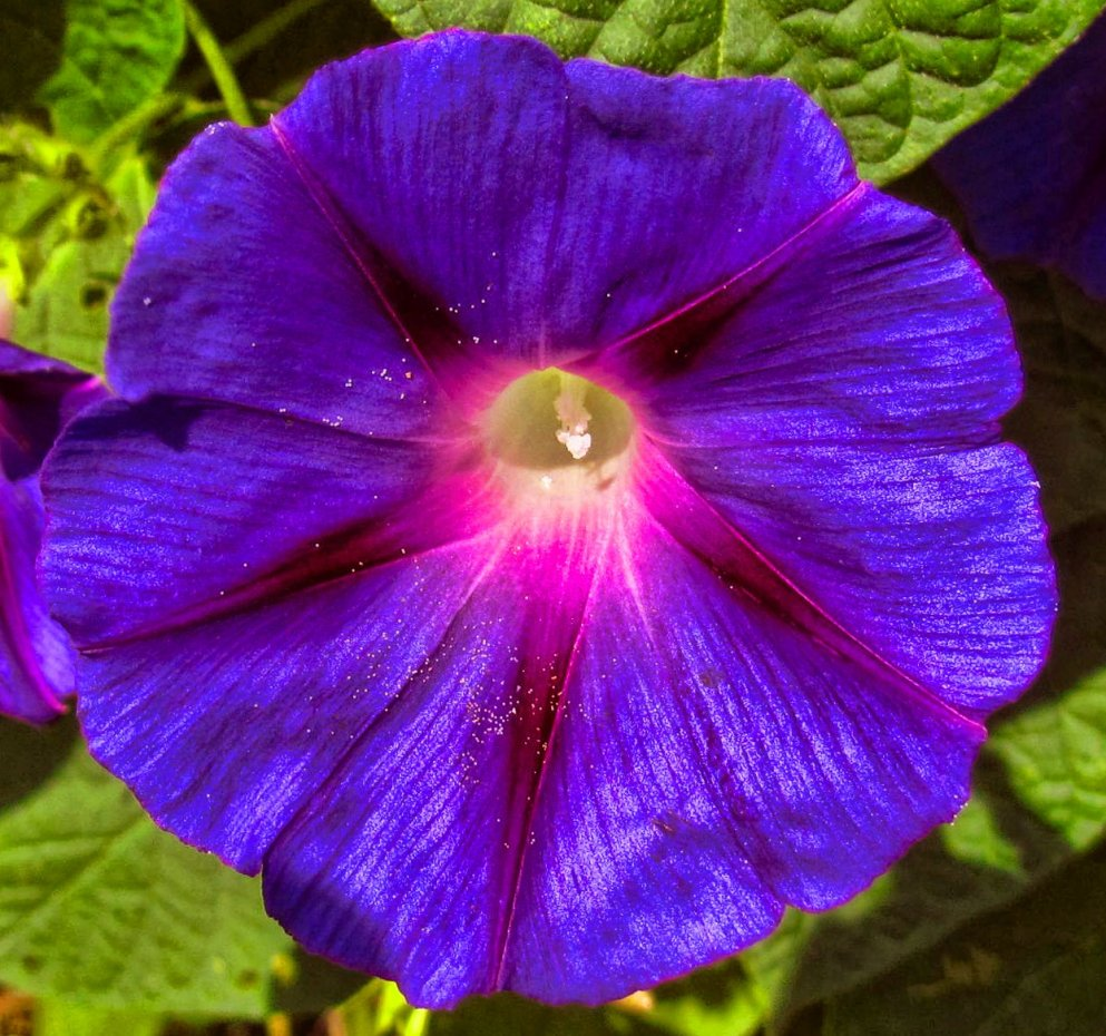 morning glory close