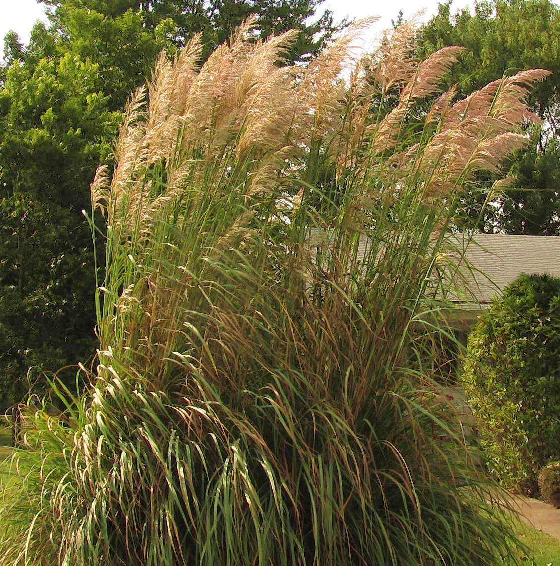 Hardy plume grass under the sun and under the moon for Ornamental grasses with plumes