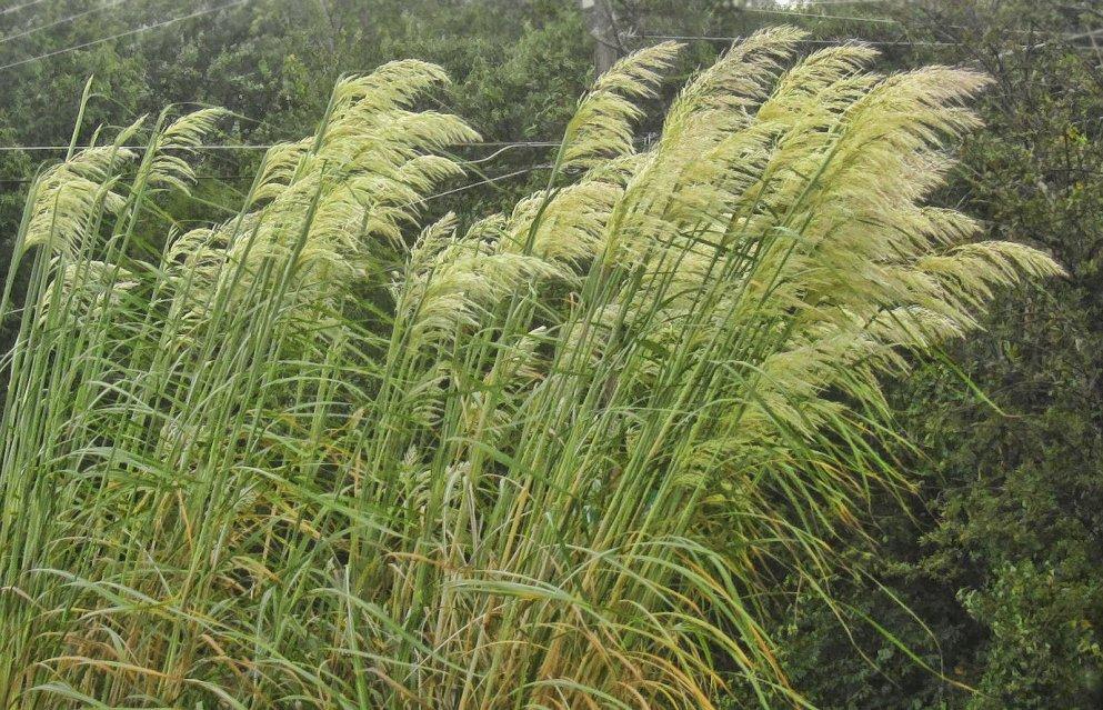 hardy plume grass