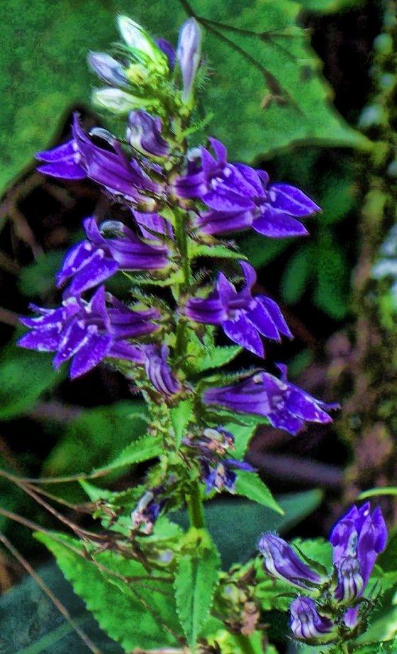 selfheal herb