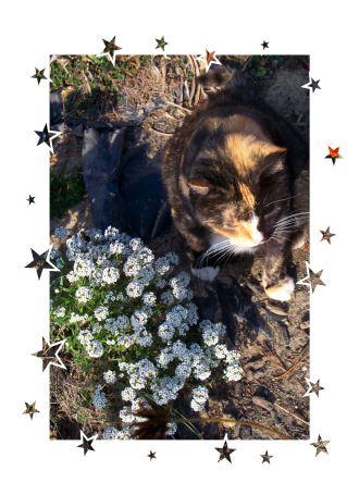 sweet_alyssum_and_sweet_cat