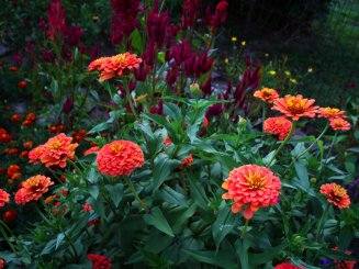 zinnias and celosia