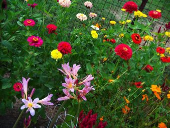 zinnias, hurricane lily, cosmos