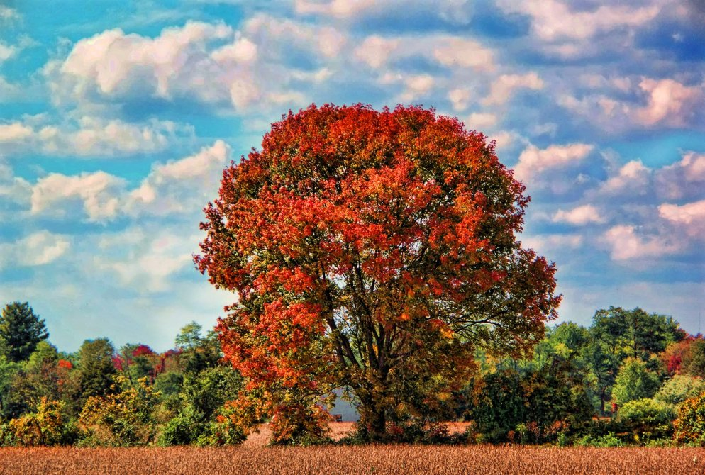 beautiful red tree in october