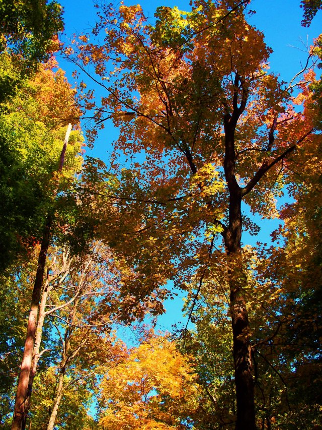 autumn multicolor trees, south indiana