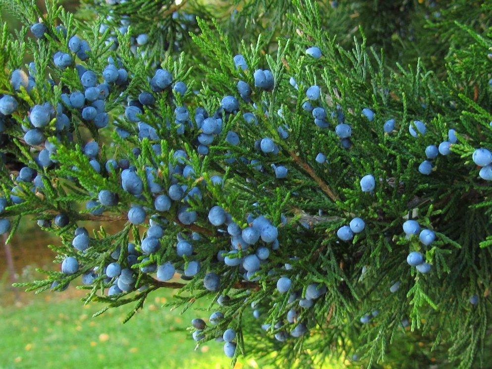 blue berries on red cedar