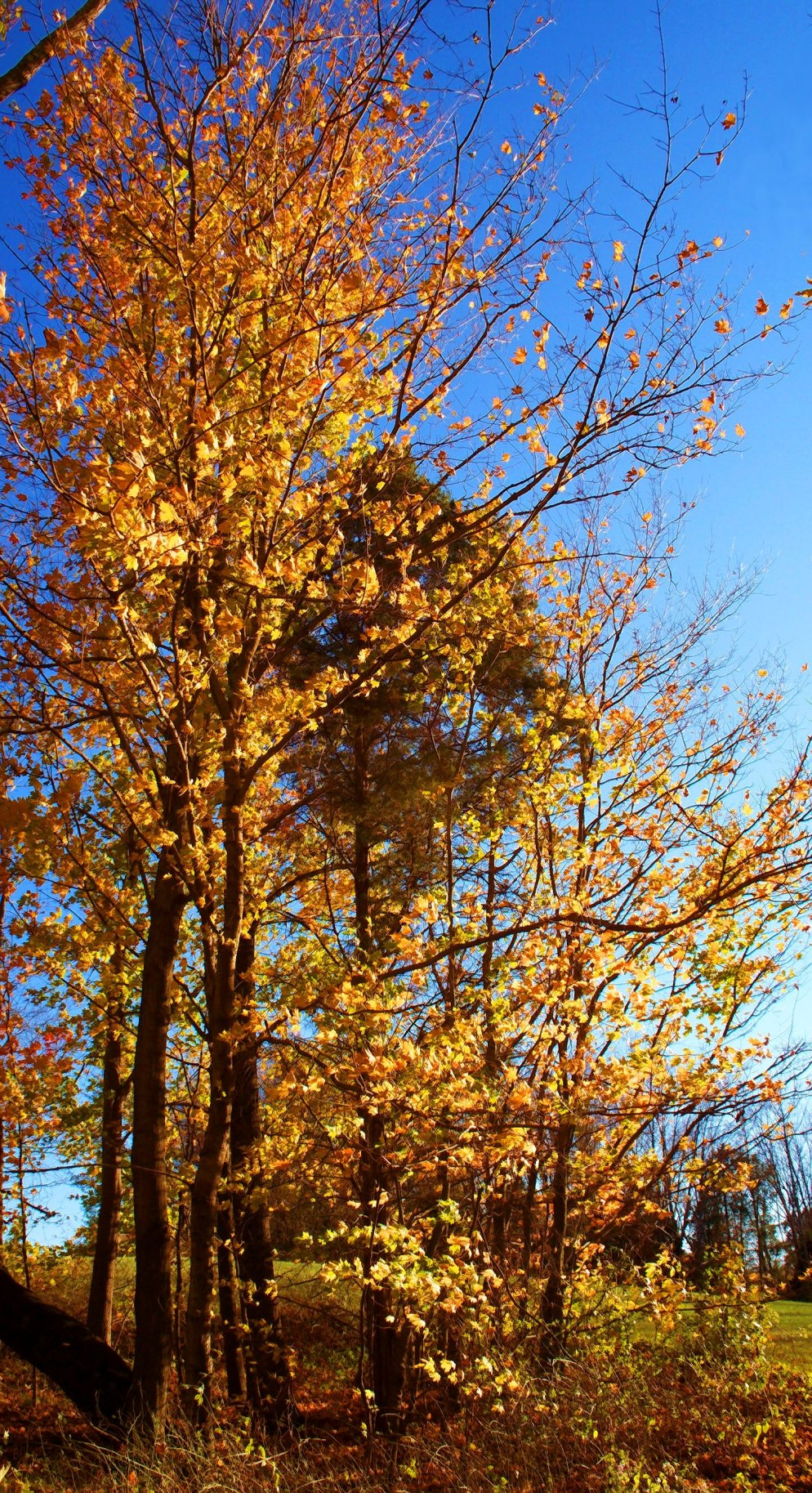 golden october trees in southern indiana