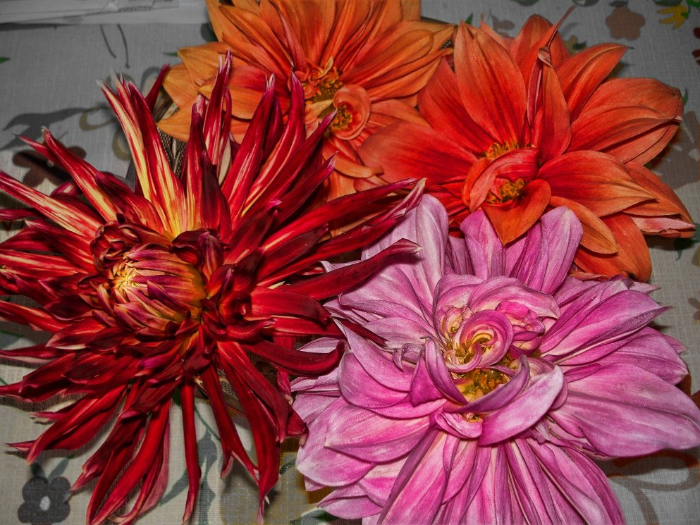 dahlia blossoms in bowl