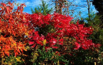 october sassafras and red sumac