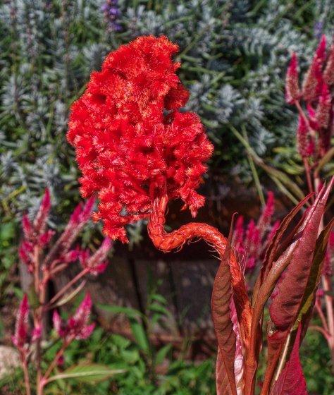 orangey-red coxcomb