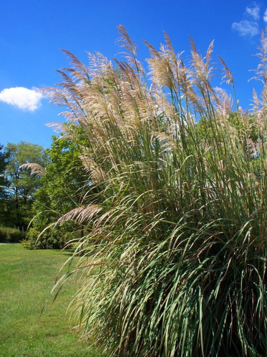 plume grass 2012