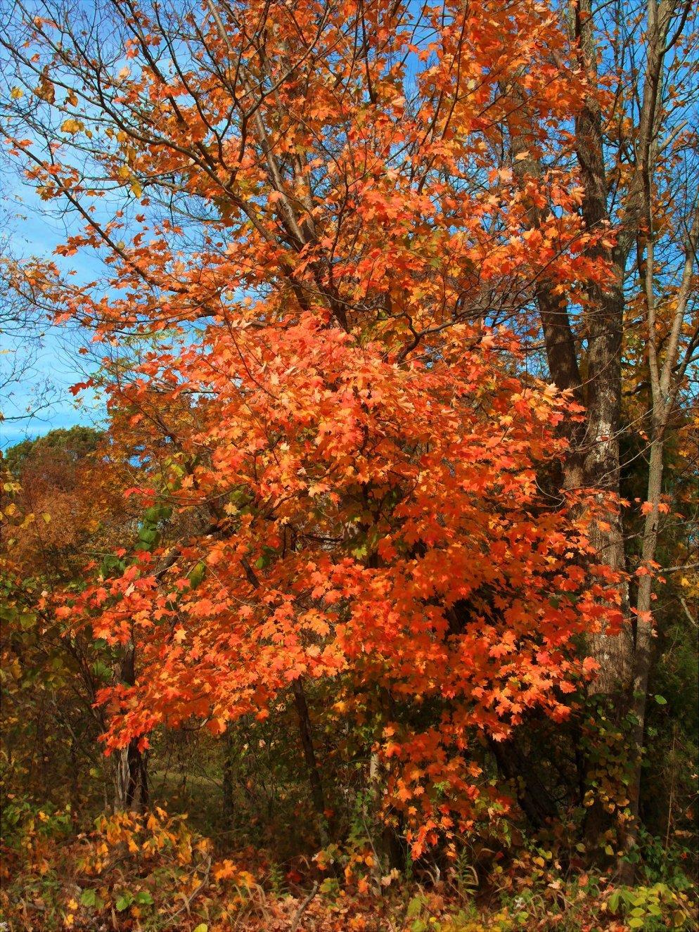 red orange maple in october